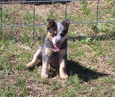 Australian Cattle Dog photos complements of Whitehouse Ranch